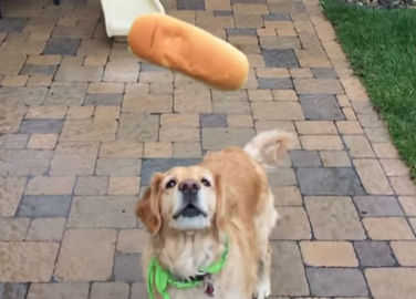 Image: Fritz the golden retriever is terrible at catching food and it's adorable