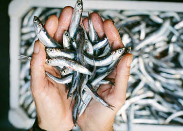anchovies-in-hands-homemade
