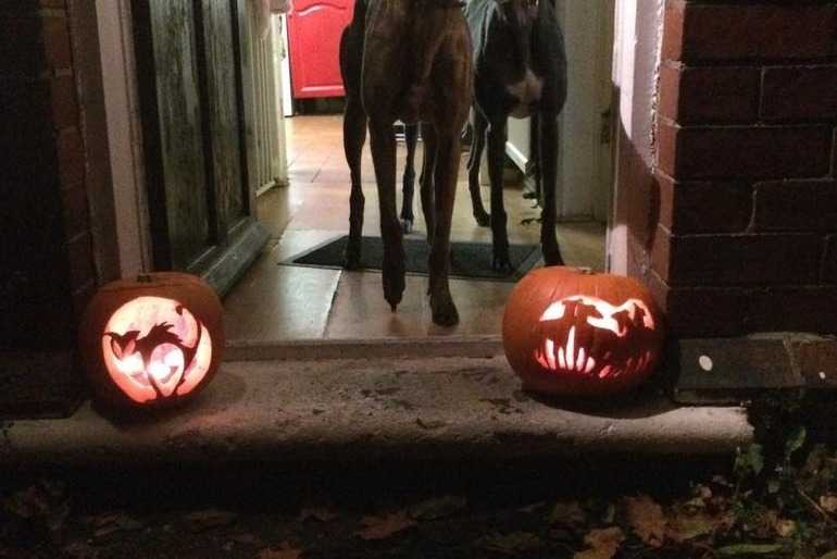 Real lurchers with a pumpkin lurcher and cat image